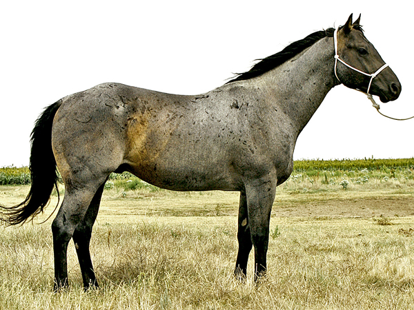 blue valentine horses for sale in texas