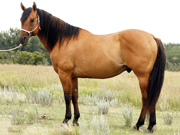 Bay Dun Quarter Horse